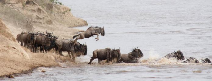 Masai Mara Wilderbeest River Crossing
