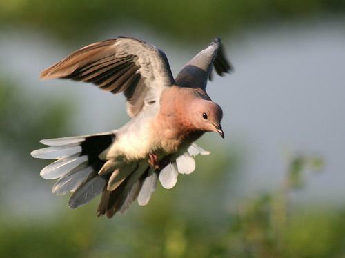 landing_dove