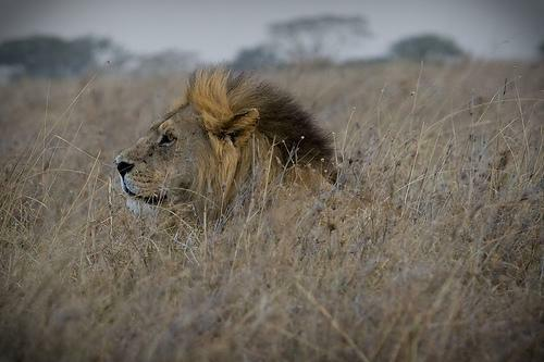 male_lion_in_grass