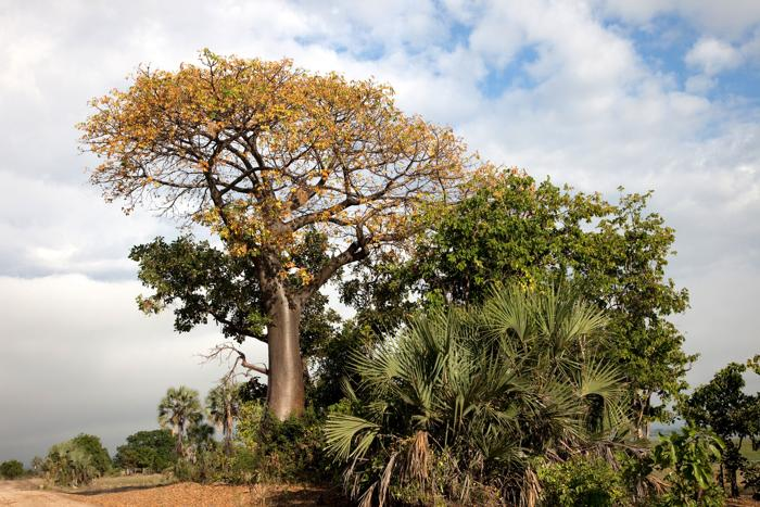 Liwonde Baobob Tree