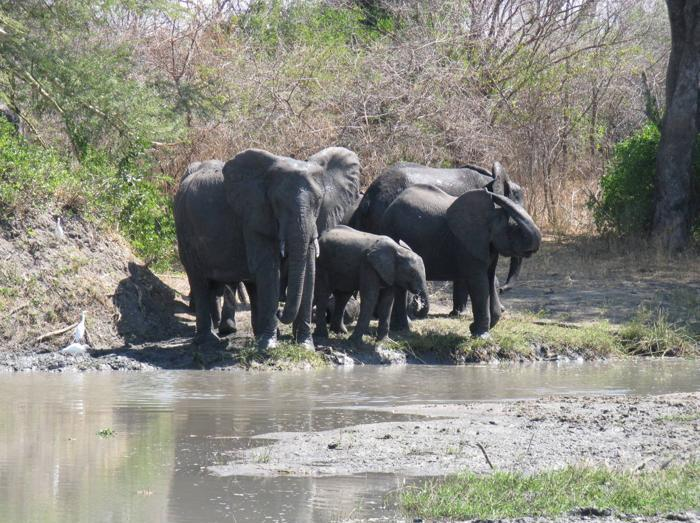 Liwonde National Park Elephants