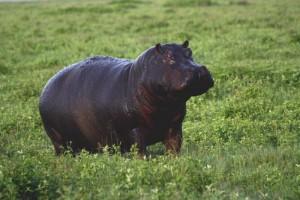hippo ngorongoro
