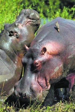 hippos-at-liwonde-national-park-malawi