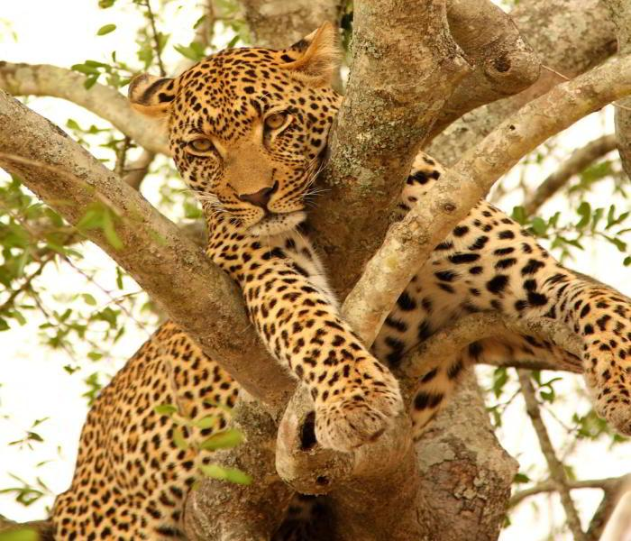 Sabi Sand Leopard