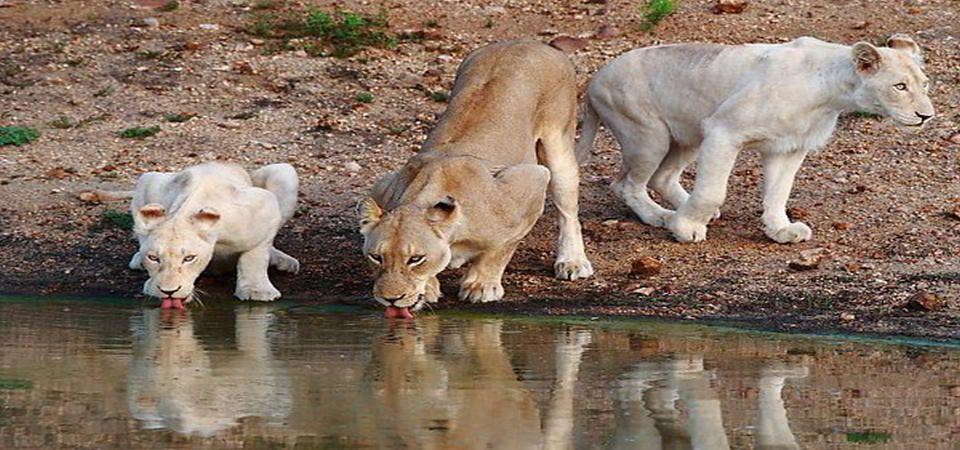 Timbavati White Lions