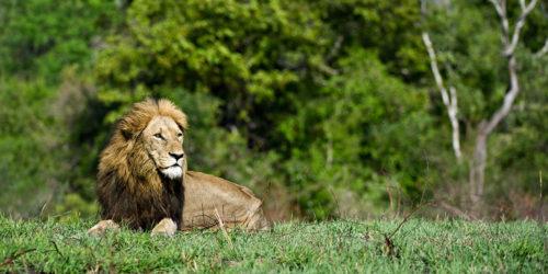 Sabi Sabi Safari Lion