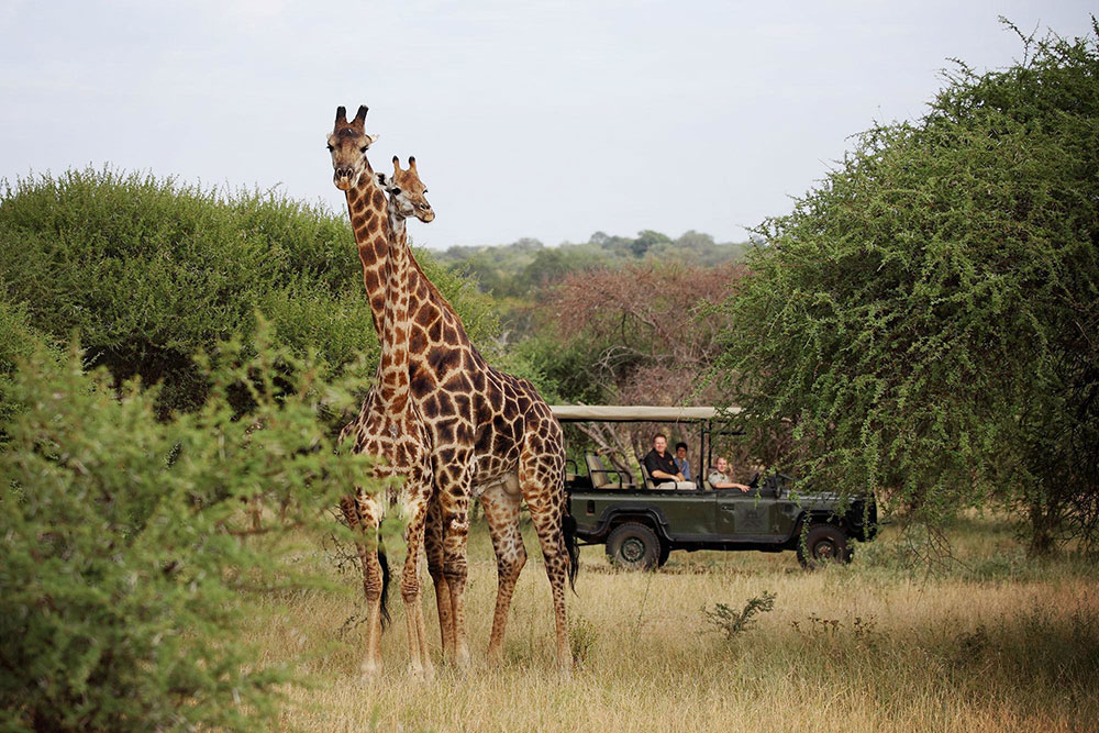 Camp Jabulani - Safari Giraffe